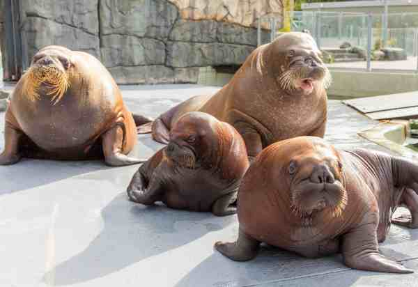 Walrus, pups, Vancouver Aquarium walruses, walrus pups, 2016