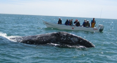 whales in peril, research on whales,