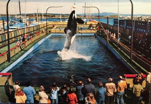 Haida, orca, killer whale, SeaLand, orca training,